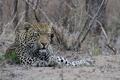 Картинка морда, отдых, хищник, мощь, леопард, лежит, дикая кошка