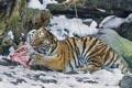 Картинка кошка, снег, тигр, камни, хищник, мясо, амурский тигр