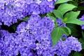 Картинка цветы, голубая, Гортензия