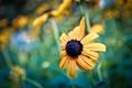 Картинка цветок, макро, Black-eyed Susan, Rudbeckia hirta