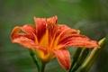 Картинка цветок, лилия, оранжевая