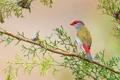 Картинка листья, птица, ветка, перья, клюв, Австралия, хвост