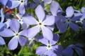 Картинка цветок, цветы, синий