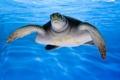 Картинка черепаха, вода, море, океан