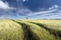 Картинка поле, лето, пейзаж, колосья
