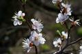 Картинка фруктовое дерево, весна, цветы, ветки, солнечно