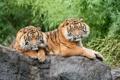 Картинка кошки, камень, пара, тигры