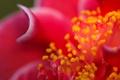 Картинка цветок, макро, лепестки, камелия