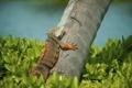 Картинка трава, дерево, ящерица, игуана, Iguana