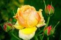 Картинка цветок, листья, роза, бутон, шипы, Липестки