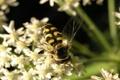 Картинка цветы, оса, крылья, насекомое