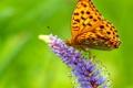 Картинка цветок, бабочка, крылья, размытость, сидит, усики