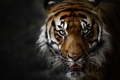 Картинка кошка, усы, взгляд, тигр, шерсть
