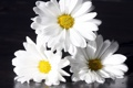Картинка цветы, отражение, ромашки, лепестки