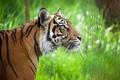 Картинка морда, полоски, тигр, хищник, профиль, дикая кошка