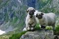 Картинка трава, горы, камни, скалы, овцы, Швейцария, Вале