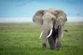 Картинка поле, природа, слон