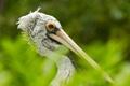 Картинка australia, Pelican, bird