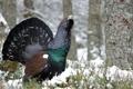 Картинка природа, птица, Capercaillie
