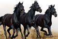 Картинка лошади, бег, три, тройка, черные, табун, 2014