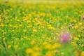Картинка цветы, размытость, полевые, лютики