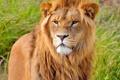 Картинка морда, лев, грива, стоит, смотрит