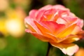 Картинка цветок, макро, роза, цвет, лепестки, яркость
