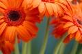 Картинка макро, цветы, gerbera