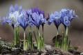 Картинка цветы, весна, первоцветы, сиреневые