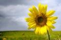 Картинка природа, поле, лепестки, небо, подсолнух