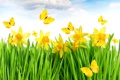 Картинка grass, yellow, flowers, spring, meadow, butterflies, daffodils