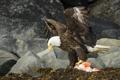 Картинка raptor, american bald eagle, View to a Kill