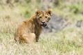 Картинка львёнок, лев, взгляд