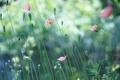 Картинка природа, маки, цветы, розовые, лето