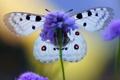 Картинка цветок, крылья, бабочька, King of Alps