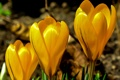 Картинка природа, растение, лепестки, крокус