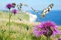 Картинка цветок, природа, бабочка, растение, мотылек, сорняк