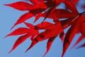 Картинка осень, небо, листья, клен