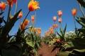 Картинка поле, небо, листья, солнце, тюльпаны, грядки