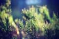 Картинка зелень, макро, ветка, размытость, хвоя, туя