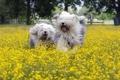 Картинка поле, собаки, лето, свобода