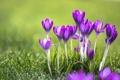 Картинка зелень, трава, цветы, роса, красота, крокусы, crocus