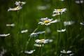 Картинка зелень, цветы, природа, поляна, ромашки, цветение, flower