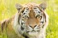 Картинка морда, портрет, хищник, дикая кошка, амурский тигр