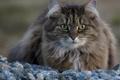 Картинка кошка, кот, камни, пушистый