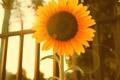 Картинка цветок, желтый, подсолнух, лепестки
