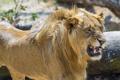 Картинка морда, злость, хищник, лев, ярость, пасть, грива