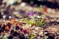 Картинка весна, крокусы. сиреневые, блики. размытость, цветы