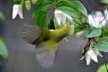 Картинка цветы, птица, клематис, Японская белоглазка