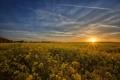 Картинка поле, восход, рапс